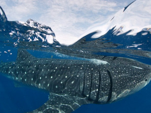 Summer season is for whale sharks!