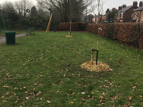 Nine new trees for Holmes Chapel!