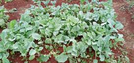 Kawangware Community Vegetable Garden