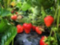 strawberry plants.jpg