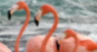 flamingos of necker island