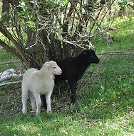 2017 lambs