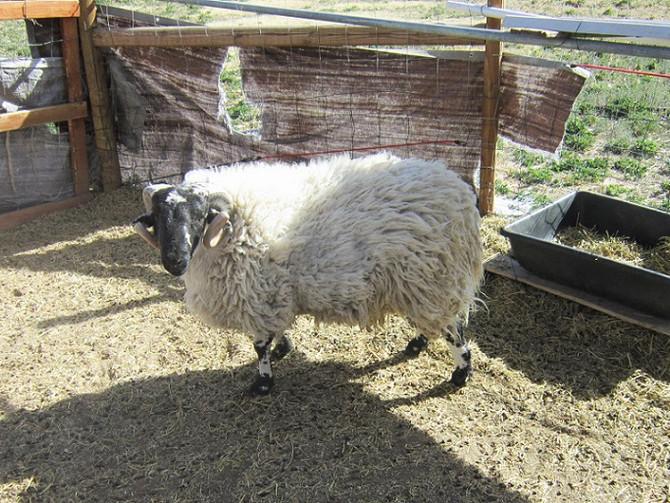 Too Late to Shear Sheep? Not.
