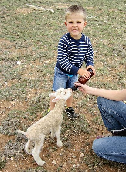 Finn sheep for sale, bottle feeding a lamb