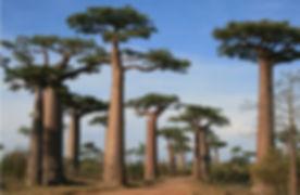 baobab alley madagascar.jpg
