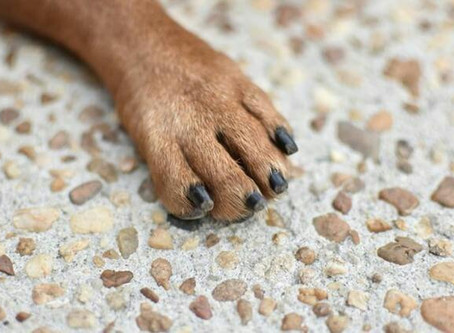 Nail cutting for dogs, maintenance and how to get the over-long nails to recede back.