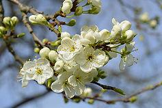 spring-apple-blossom-branch-bloom-thumbn