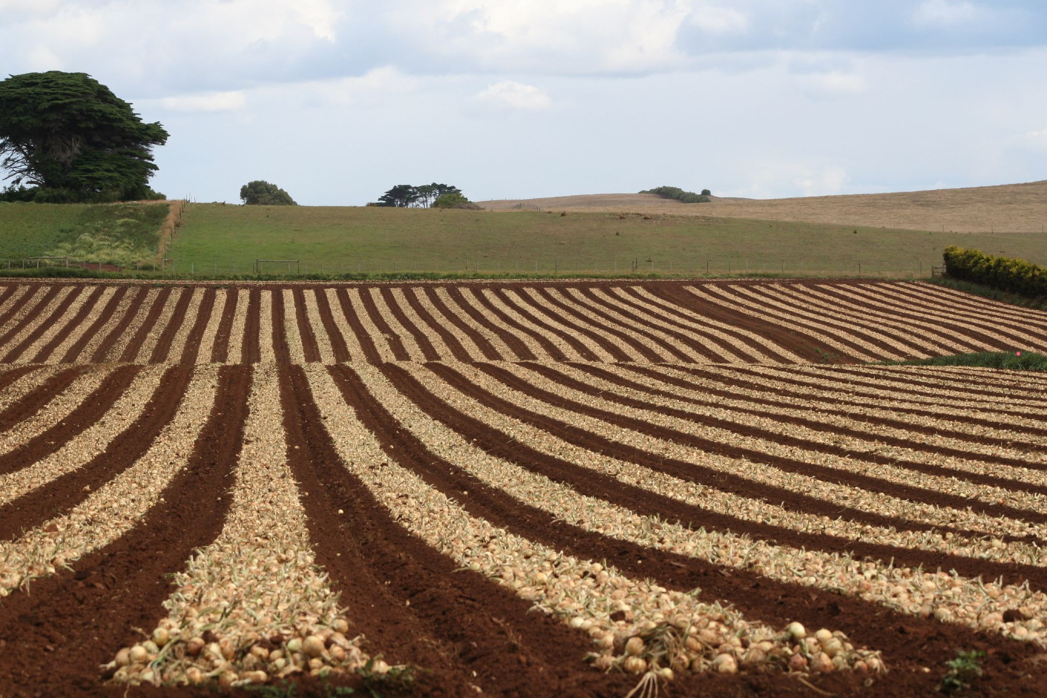 Harvested onions curing on ground