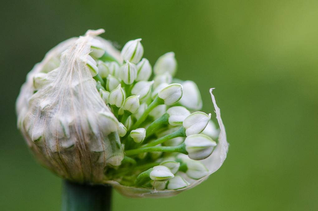 Onion bulb flower
