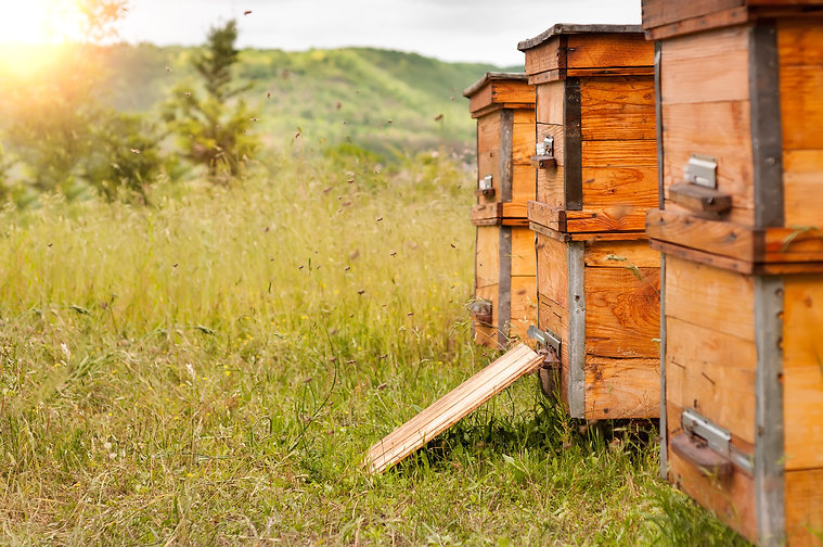 Hives of bees in the apiary.jpg