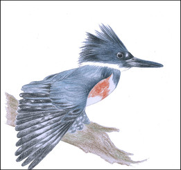 Belteisfuglen (Megaceryle Alcyon)