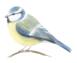 Blåmeis (Cyanistes Caeruleus)