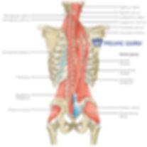 Multifidus.SpinalMuscles.Gluteals.jpg