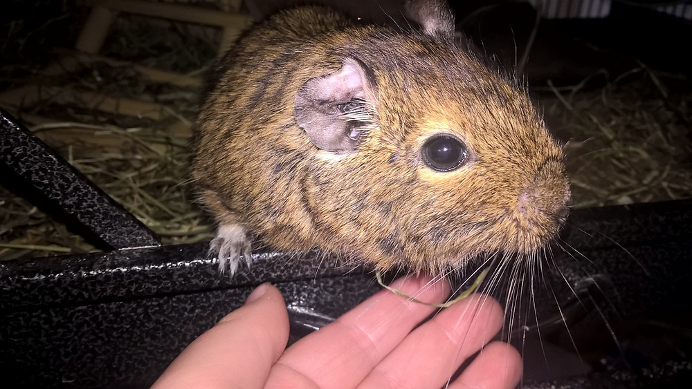 Diego the Degu looking out from his degu cage