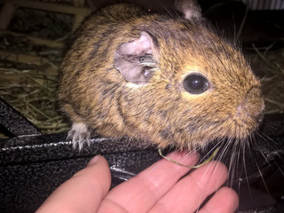Worried about my Degu's teeth