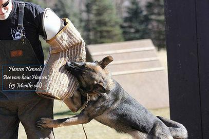 Working German Shepherds minnesota