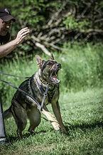 Hansen Kennels Aries vom haus Hansen, minnesotadog trainer, aggressive dog triner, german shepherd puppies, police dogs, police dog breeder,