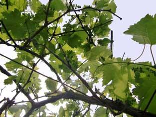 教室のテーマデザインの一つ、葡萄。繁栄を表すとされ、縁起のよい果物です。この季節、小さな実をたくさん付け始めます。