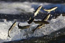 Erciş Balık Bendi 1