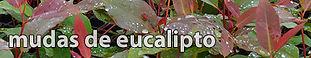 mudas de eucalipto