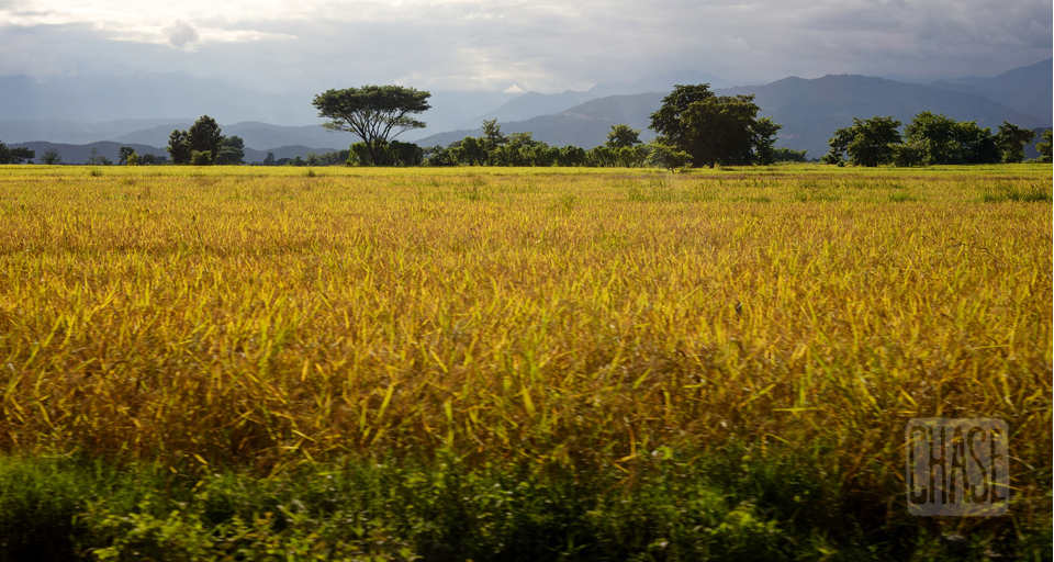 Golden Rice Field in Myanmar
