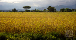 Golden Rice Field in Myanmar