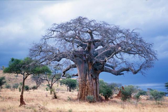 WC Journey Africa Tree 1.jpg