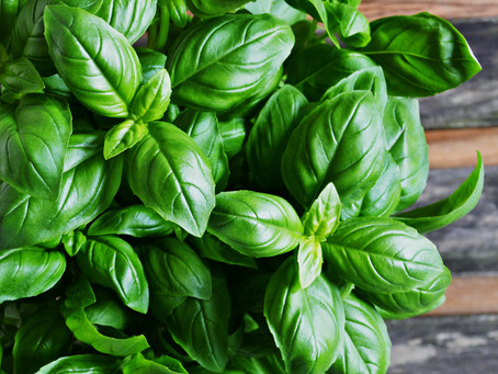 Plant of the Month: Basil