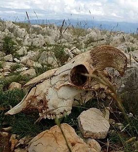 Ram skull.jpg