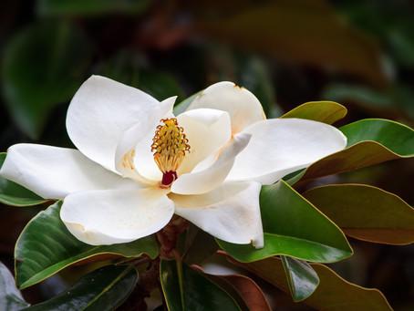 Majestic Magnolias