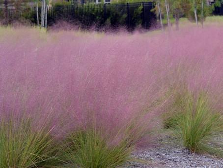 Ornamental Appeal – Muhlenbergia capillaris (Muhly grass)