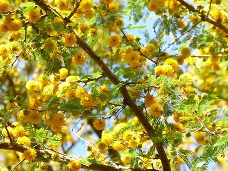 Acacia farnesiana – Sweet Acacia