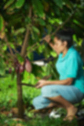 woman farmer pick cacao pods from tree.j