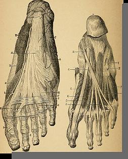 Anatomie du pied : os, ligaments, tendons