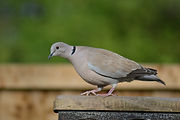 ring-neck-dove-272970_1280.jpg