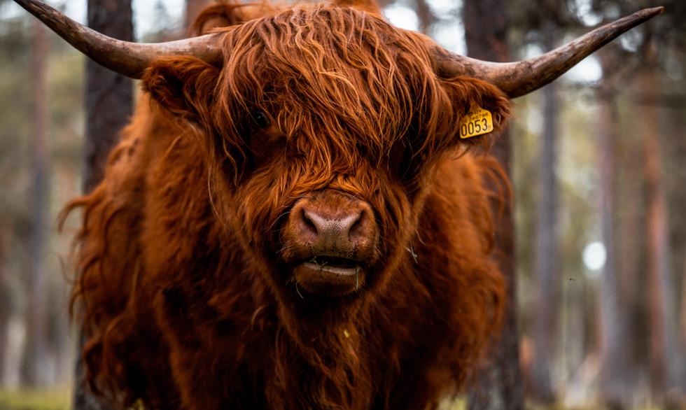 Swedish long haired bull outside Lulea, Sweden