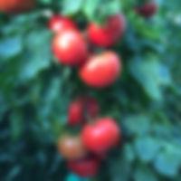 aux fruits de la coline -tomates-