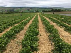vue champs fraises
