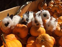 aux fruits de la colline -lapins-