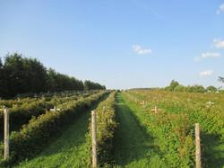 champs de framboises