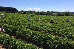 aux fruits de la colline - champ de fraises-