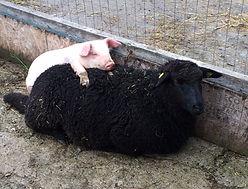 aux fruits de la colline -mouton-