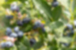 aux fruits de la colline -bleuets-