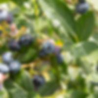 aux fruits de la colline - bleuets-