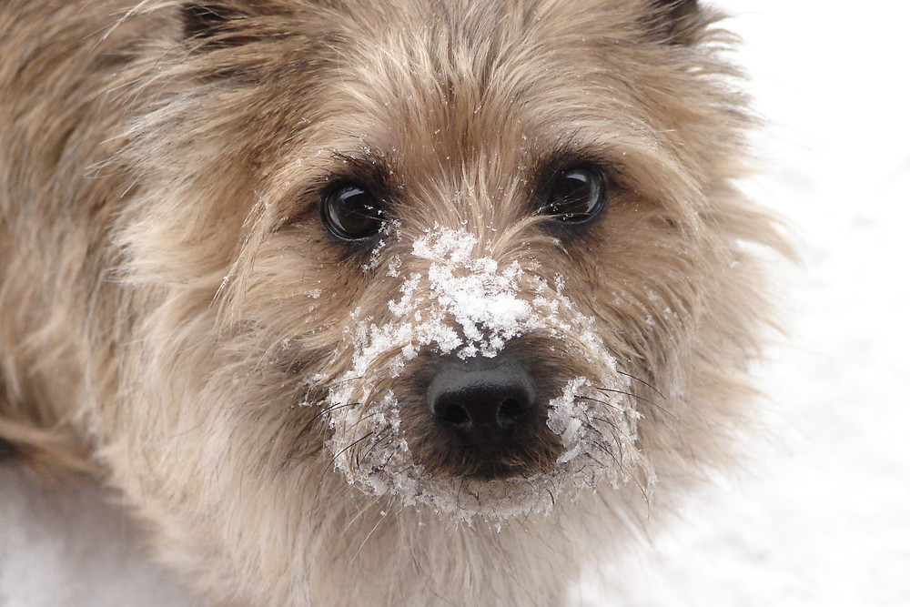 My dog Jack (Cairn Terrier), A Recommended Read 2019. Northern free-verse poetry.
