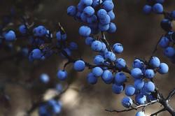 blueberries-1031221_640_edited