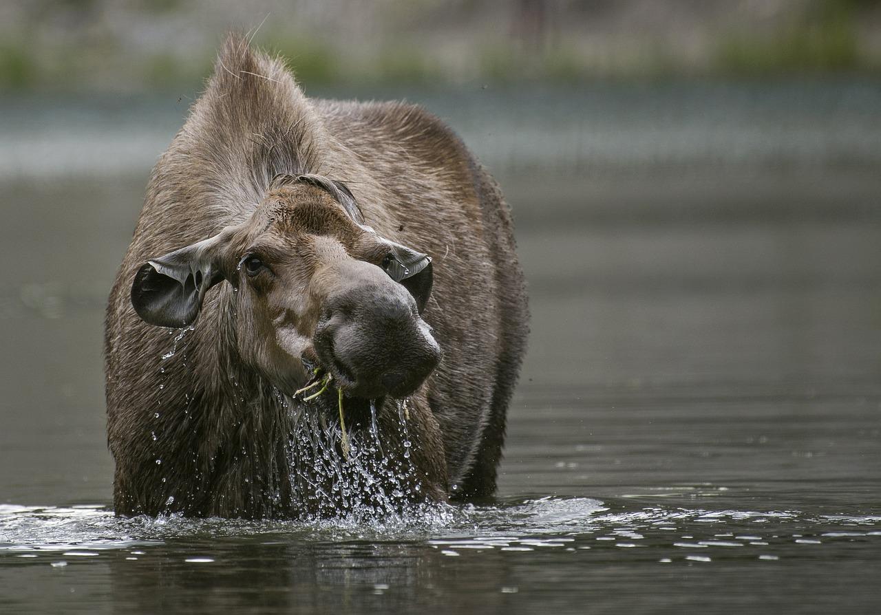 moose-3933058_1280