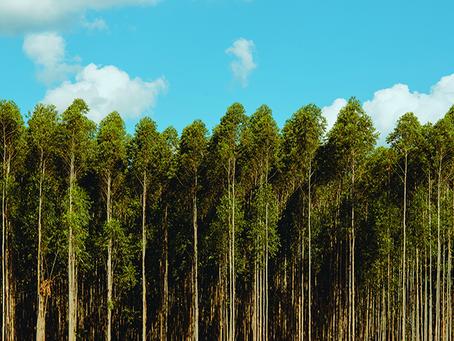 Lacan Florestal já negociou mais de 50 mil hectares de florestas de eucalipto