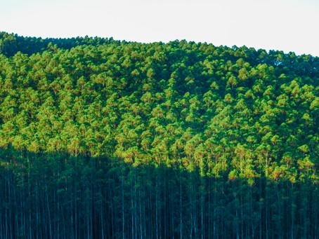 MG, SP e MS somam mais de 4 milhões de hectares com florestas de eucalipto