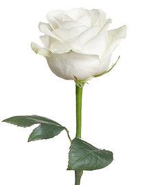 white-rose-2018-billboard-1548.jpg
